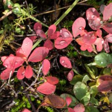 Fall Berry Leaves