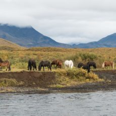 Icelandic Horses on Bruafoss River
