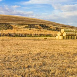 Sept. 24 -- Wind rolls at sunset in the Palouse