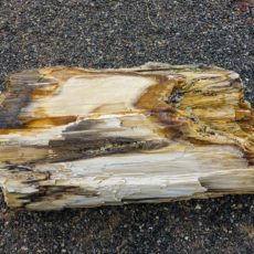 Petrified Wood speciman outside the Museum in Vantage, WA.