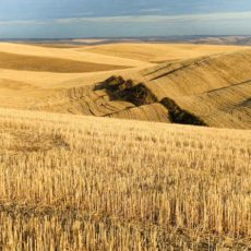 Golden Fields at sunset in the Palouse