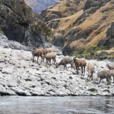 Bighorn sheep on the Banks of the Snake River in Hell's Canyon