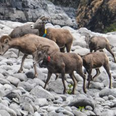Bighorn sheep on the Banks of the Snake River in Hell's Canyon -- many wear radio collars. Note how well they blend in with the hills of  the canyon.