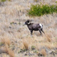 Bighorn ram on the Banks of the Snake River in Hell's Canyon