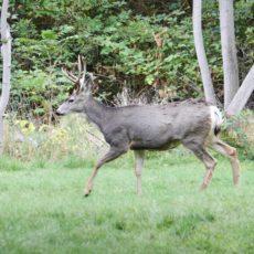 Mule Deer outside our Cabin