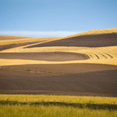 Golden fields against freshly plowed brown earth at sunset in the Palouse